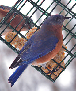 Is The Bluebird Of Happiness Tapping On Your Window?